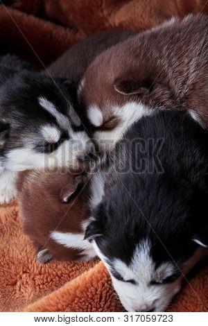 Newborn Siberian Husky.puppy Siberian Husky.siberian Husky Copper And Black Color.sleep On Carpet