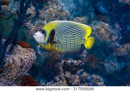 Emperor Angelfish (pomacanthus Imperator),coral Reef. Colorful Fish
