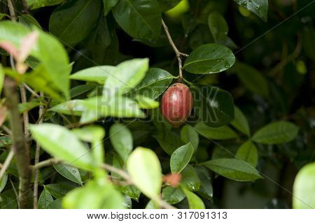 Red fruit - Berberis thunbergii (Japanese barberry, Thunberg's barberry, or red barberry) is a species of flowering plant in the Berberidaceae family, native to Japan and eastern Asia.