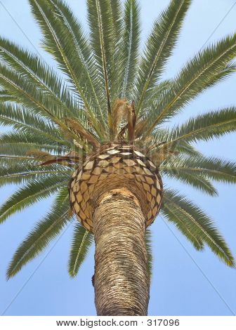 Palm Tree-closeup