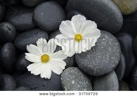 Beautiful two white daisy on zen stones