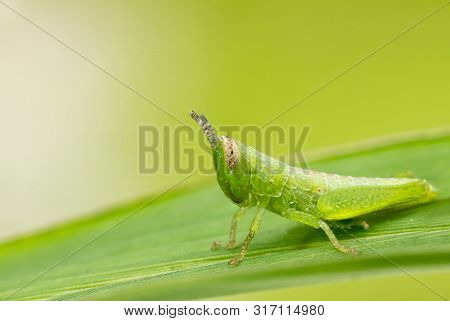 Green Grasshopper Sitting On A Leaf, Small Grasshopper, Grasshopper In The Garden