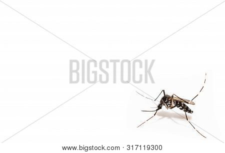 Aedes Albopictus Mosquito Sucking Blood On Skin,macro Close Up Isolate On White Background