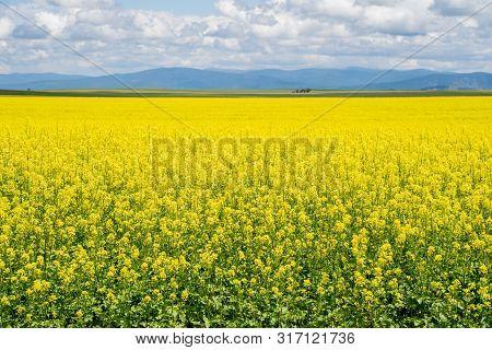 Seemingly Endless Field Of Yellow Mustard Plants In Bloom In The Palouse Region Of Western Idaho