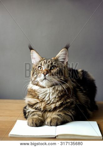 Close-up Portrait Of Maine Coon Cat Sitting On A Wooden Table And Reading A Book, Selective Focus, C