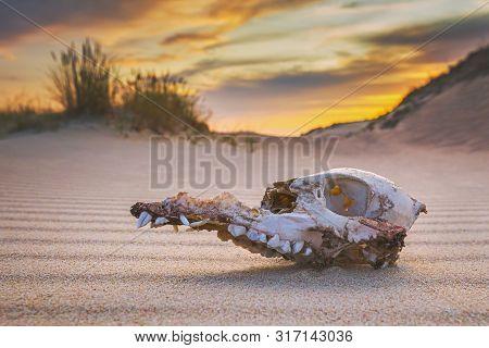 Animal Skull On The Sand, Extinction Concept