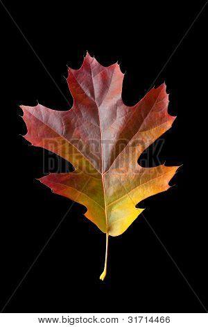 Oak Leaf 2 With Clipping Path
