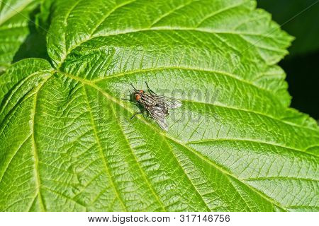 Gray Little Fly Sits On A Green Leaf Of A Plant In Nature