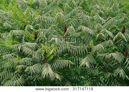 Green Floral Texture Of Sumac Trees With Long Green Leaves On Branches
