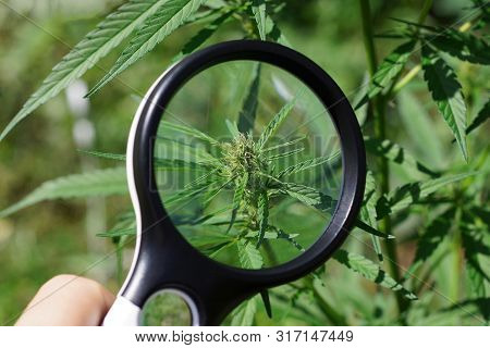 Magnifier In Hand Increases The Green Leaf On A Bush Of Marijuana