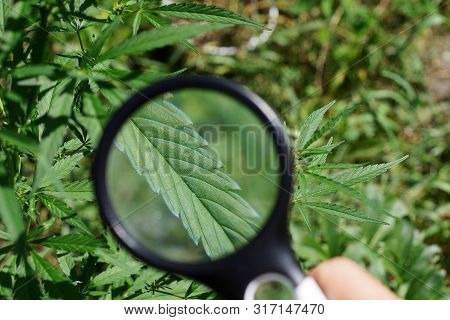 Black Magnifier In Hand Increases The Green Leaf On A Bush Of Marijuana
