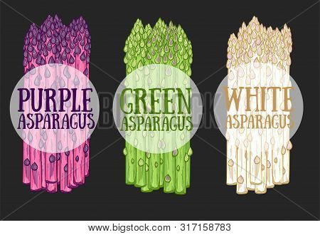 Organic Asparagus Farm Food Hand Drawn Vector Illustration. White, Green And Purple Asparagus Sprout
