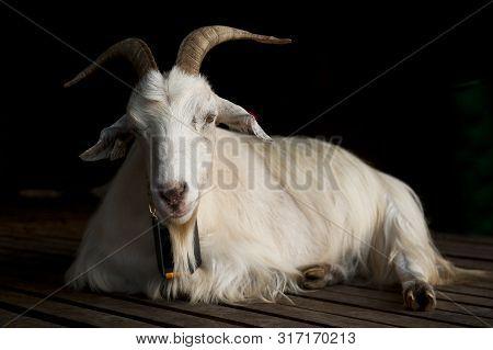 Portrait Of Goat On Mount Floyen In Bergen, Norway On July 25 2019