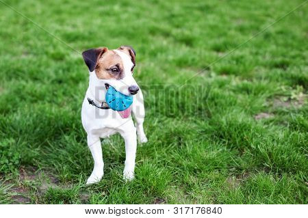 Purebred Jack Russell Terrier Dog Outdoors On Nature In The Grass. Happy Dog ​​in The Park On A Walk