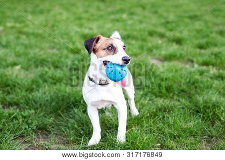 Purebred Jack Russell Terrier Dog Outdoors On Nature In The Grass. The Dog Holds The Ball In His Mou
