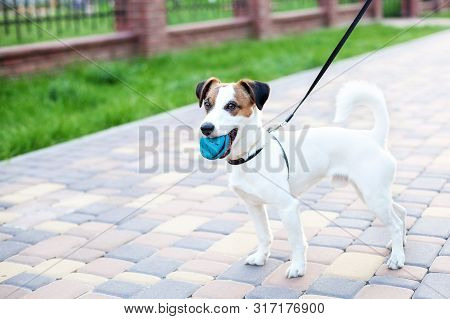 Purebred Jack Russell Terrier Dog Stands In A Park On A Leash In The Open Air. Happy Dog ​​in The Pa