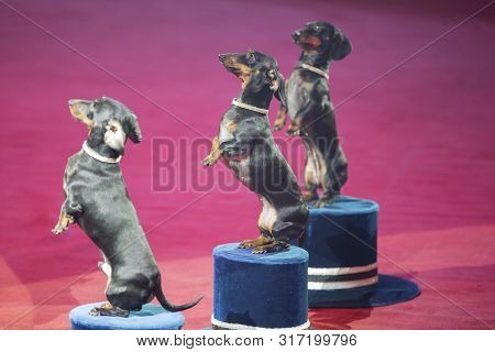 Trained dogs. Tuxes perform in a circus poster
