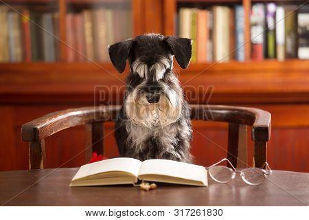 Cute Miniature Schnauzer Dog Reads A Book In The Classroom