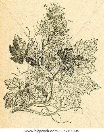 Pumpa växt - gammal illustration av okänd konstnär från Botanika Szkolna na Klasy Nizsze, författare Joz