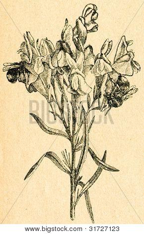 Linaria - gammal illustration av okänd konstnär från Botanika Szkolna na Klasy Nizsze, författare Jozef Ros