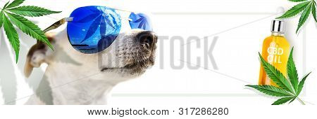 Animal Cbd Oil. Concept. Dog In Sunglasses, Which Reflects A Leaf Cannabis. Marijuana. Hemp Leaves A