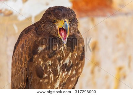 Close-up Of The Golden Eagle (aquila Chrysaetos) Adult. Also Known As Caudal Eagle. Ring For Falconr