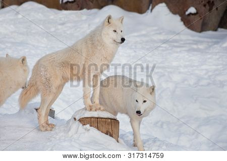 Three Wild Alaskan Tundra Wolves Are Standing On A White Snow. Canis Lupus Arctos. Polar Wolf Or Whi