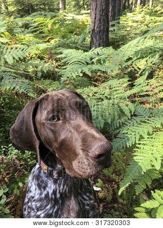 Portrait Of Puppy Dog  Breed German Shorthaired Pointer In Green Ferns.