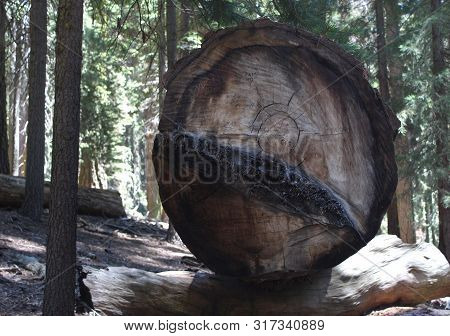 Cross Section Of Sequoia Tree Trunk In Forest