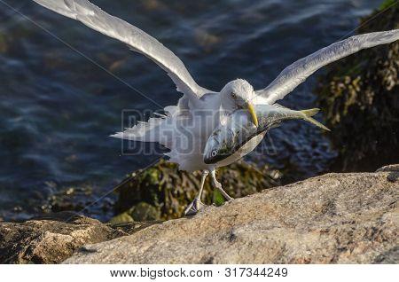 Herring Gull Maneuvers Across Rocks On Hurricane Barrier To Feed On Dead Bluefish