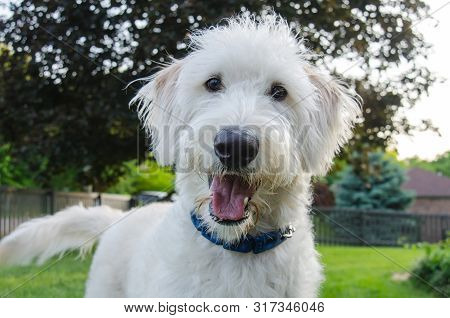 A White Labradoodle Looks Intently At The Camera