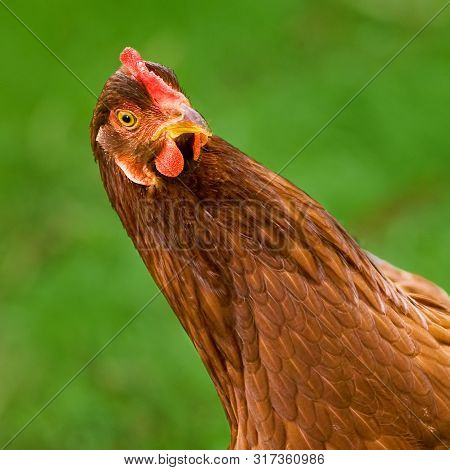 Rhode Island Red Hen Chicken Tilts Head And Leans In Curious And Comical Way With Green Background A