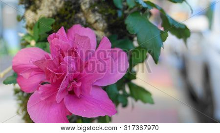 Bright And Showy Hibiscus Flower On The Branch With Green Leaves Close Up.