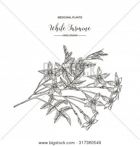 White Jasmine. Jasminum Officinale Flowers And Leaves Isolated On White Background. Medical Plants H