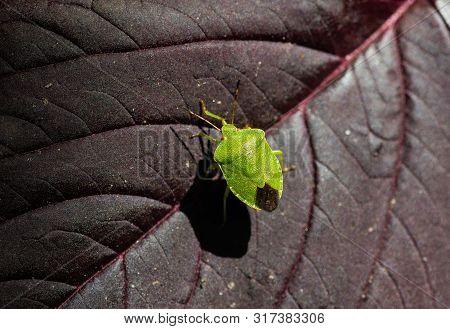 Little Green Heteroptera Acanthosoma Labiduroides Insect Close Up Macro Nature
