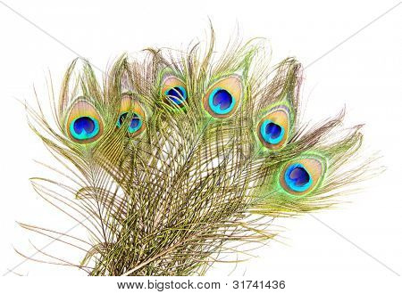 Detailed photo of a bunch of beautiful vivid peacock feathers isolated on white