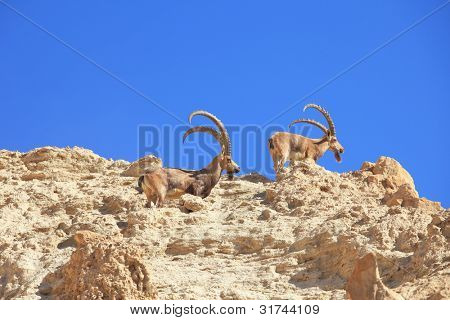 A herd of wild goats, with huge horns grazing in the mountains poster