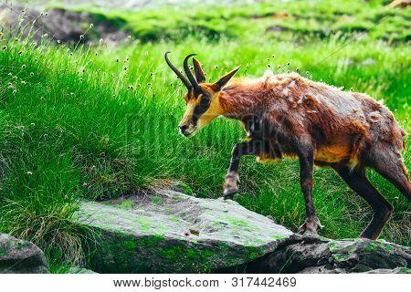 Wild Alpine Goat Portraiture, Green Mountain Nature On The Background.
