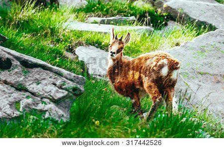 Wild Alpine Goat Portraiture, Mountain Nature On The Background, Grassy Rocks.