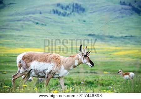 Antelope Standing In Green Lush Field In Wilderness