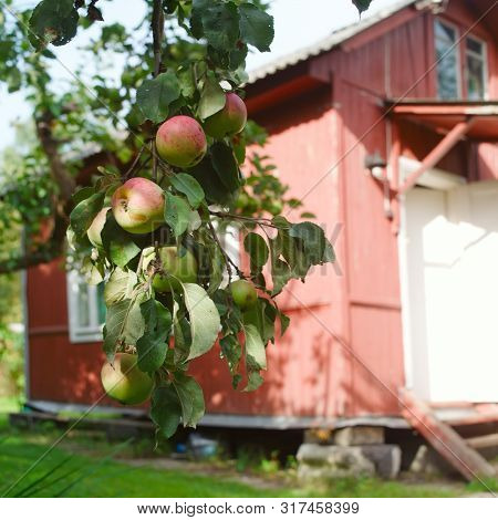 Red Ripe Apples Hanging On The Branch, A Summerhouse In The Blurred Background