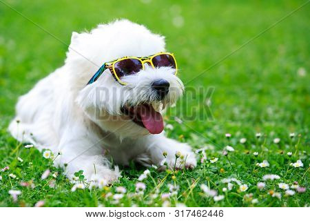 The Dog Breed West Highland Terrier In Glasses Lying On Green Grass