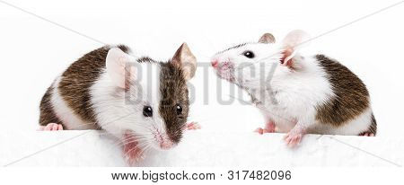 Little Cute Mice Isolated On White Board