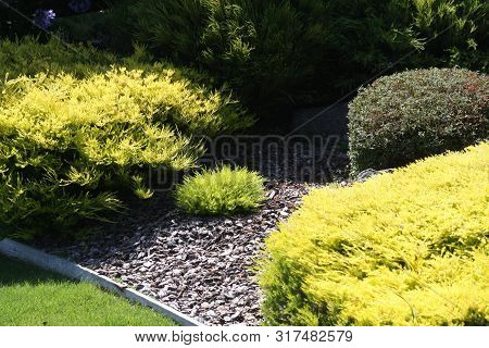 This Is An Image Of Gold Colored Shrubs Taken In A California Backyard Garden.