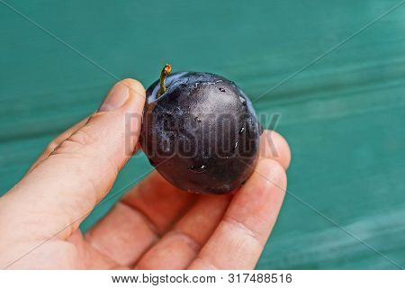 Fingers Hold A Blue And Wet Plum On A Green Background