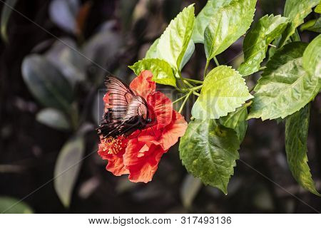 Hardy Hibiscus Luna Red Flower With Butterfly - Latin Name - Hibiscus Moscheutos Luna Red