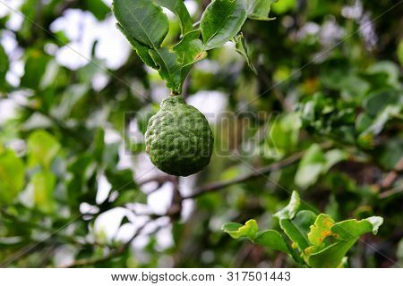 Close Up Of Citrus Hystrix (kaffir Lime, Makrut Lime Or Mauritius Papeda) Fruit On Its Tree With Def