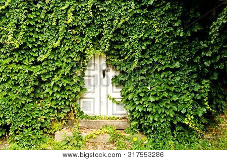 White Door Of An Empty House, Which Became Overgrown From Leafs Of Wild Wine