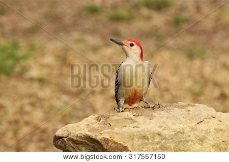 A Red-bellied Woodpecker Perched On A Brown Rock, Showing His Red Belly, On A Blurred Brown Backgrou