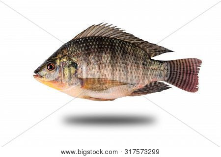 Oreochromis Niloticus Isolated From The Background Clipping Path